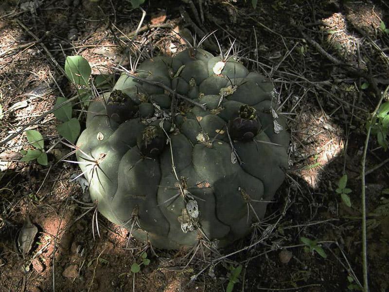 Gymnocalycium pflanzii. © Sebastian Santecchia Alemania, Salta, Argentine.