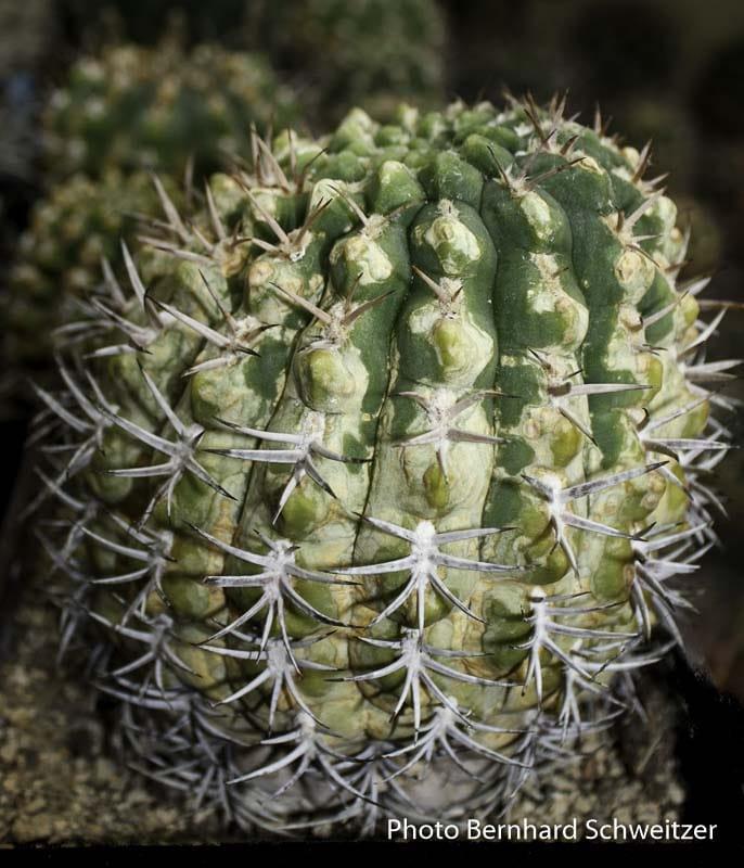 Gymnocalycium pugionacanthum original envoyé par Fechser au producteur Haage