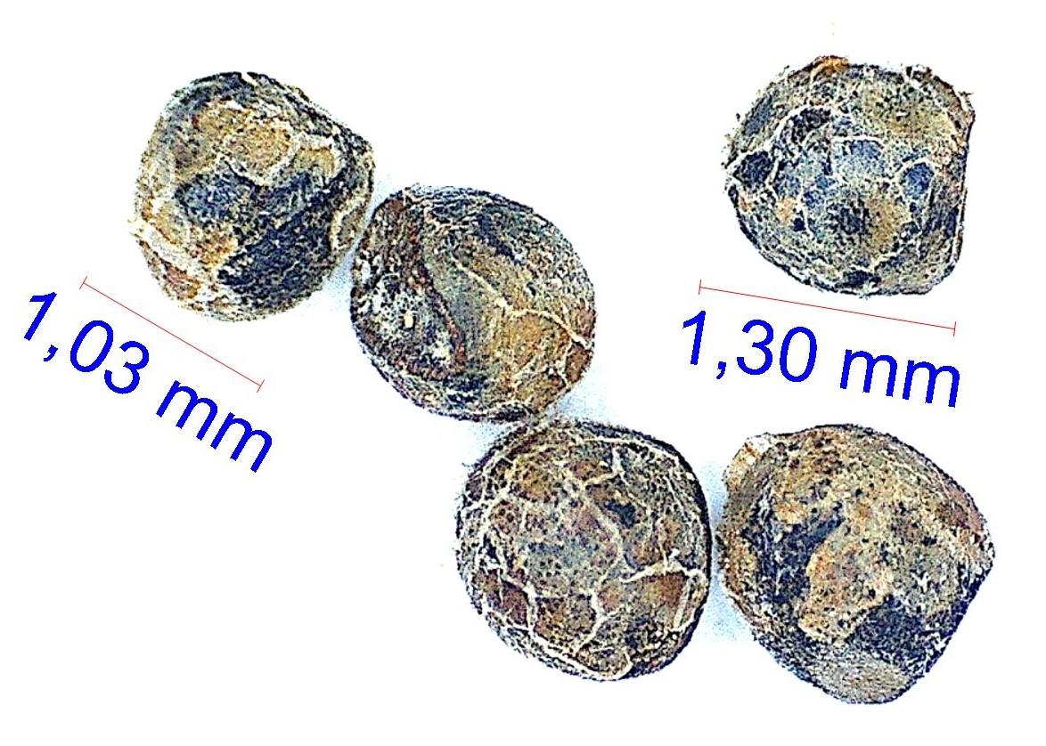Gymnocalycium andreae P 99. © Joël Lodé/cactus-aventures.com