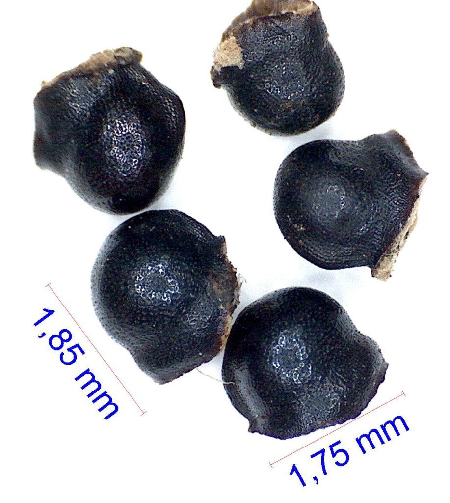 Graines de Gymnocalycium angelae