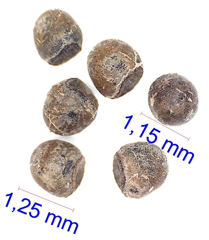 Gymnocalycium berchtii. Las Chanaras, SanLuis
