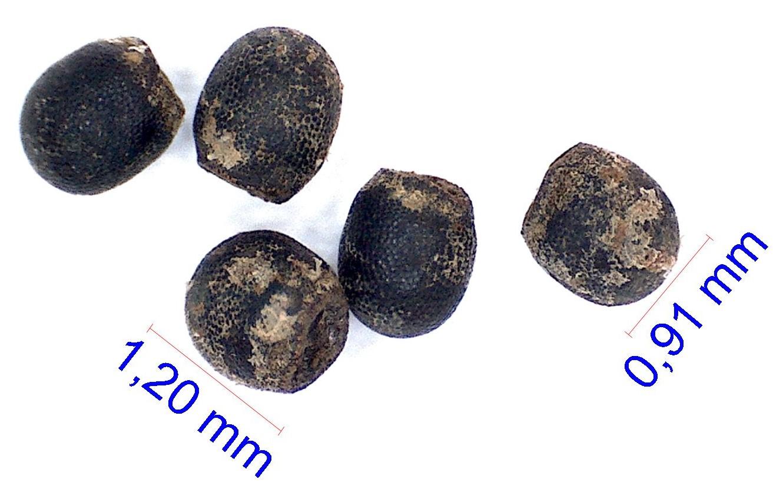 Gymnocalycium berchtii (nataliae) TOM 400