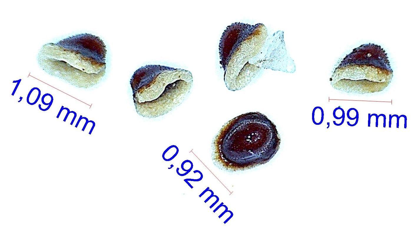 Gymnocalycium bodenbenderianum (stellatum ssp occultum). © Joël Lodé/cactus-aventures.com