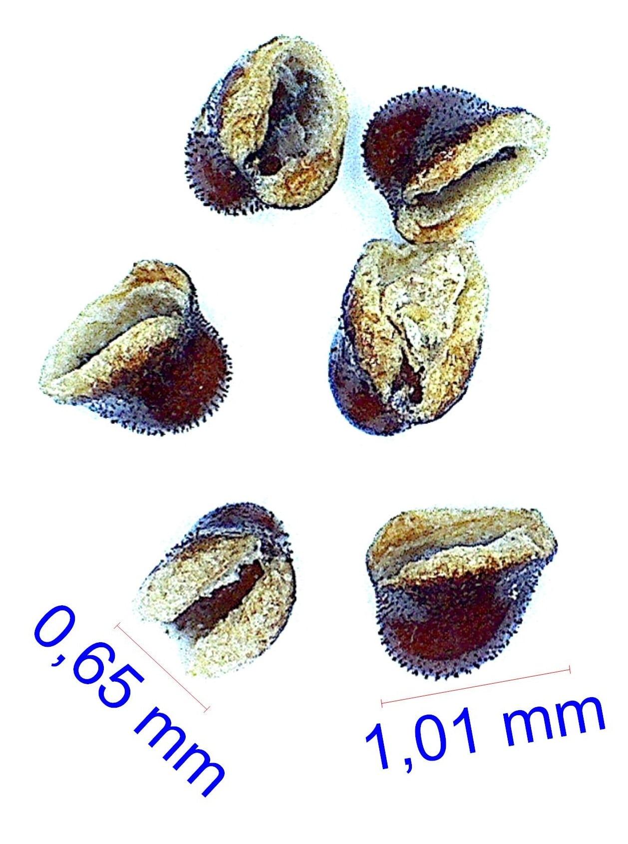 Gymnocalycium bodenbenderianum fma platygonum P 216. © Joël Lodé/cactus-aventures.com