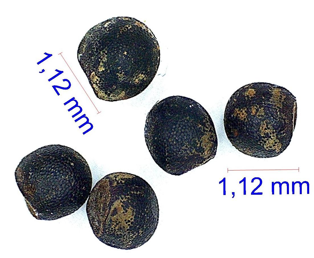 Gymnocalycium bruchii.