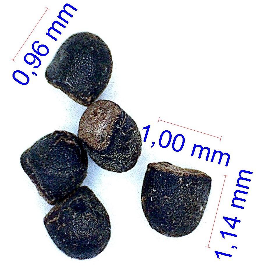 Gymnocalycium calochlorum