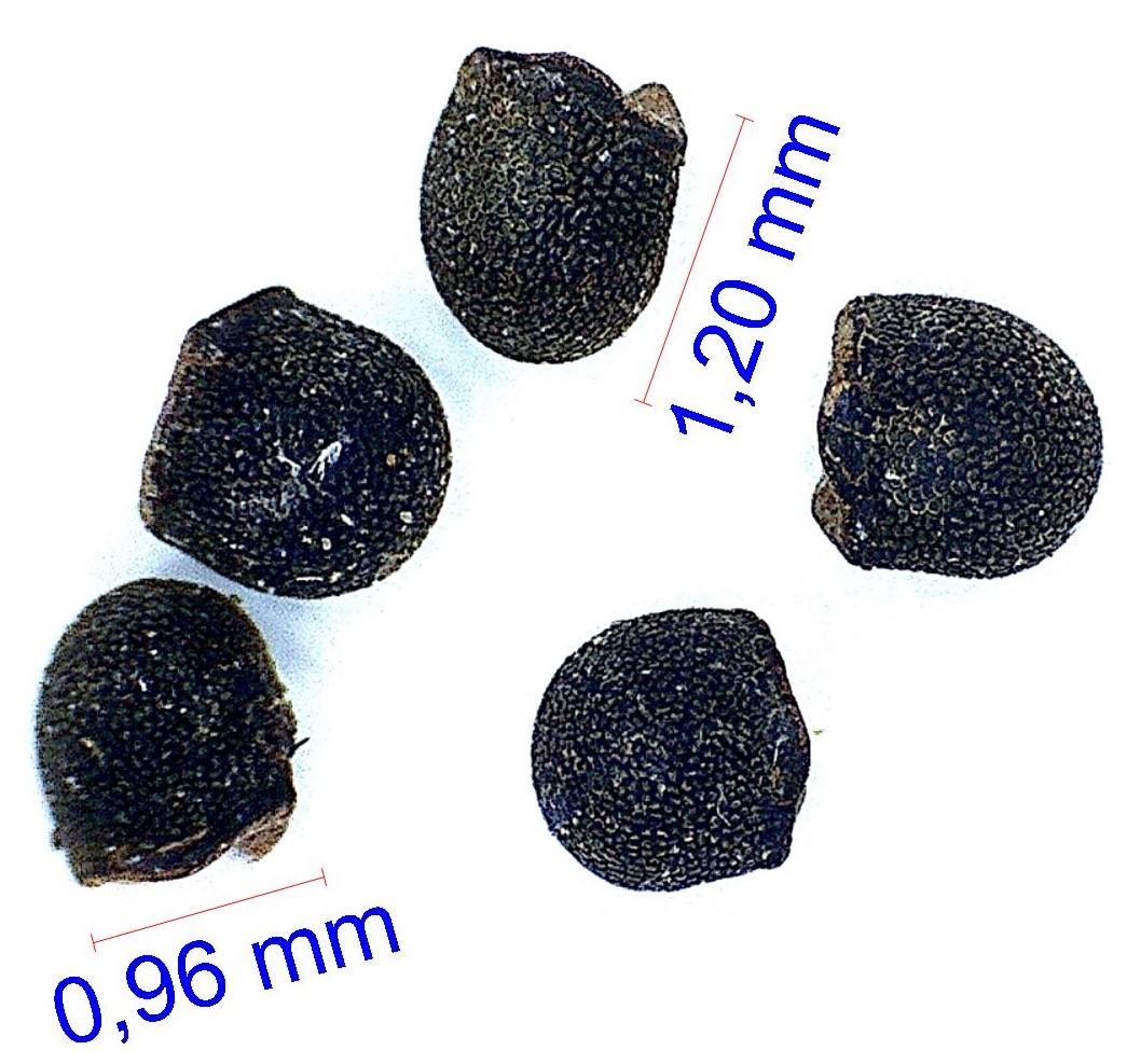 Gymnocalycium capillaense (sutterianum)