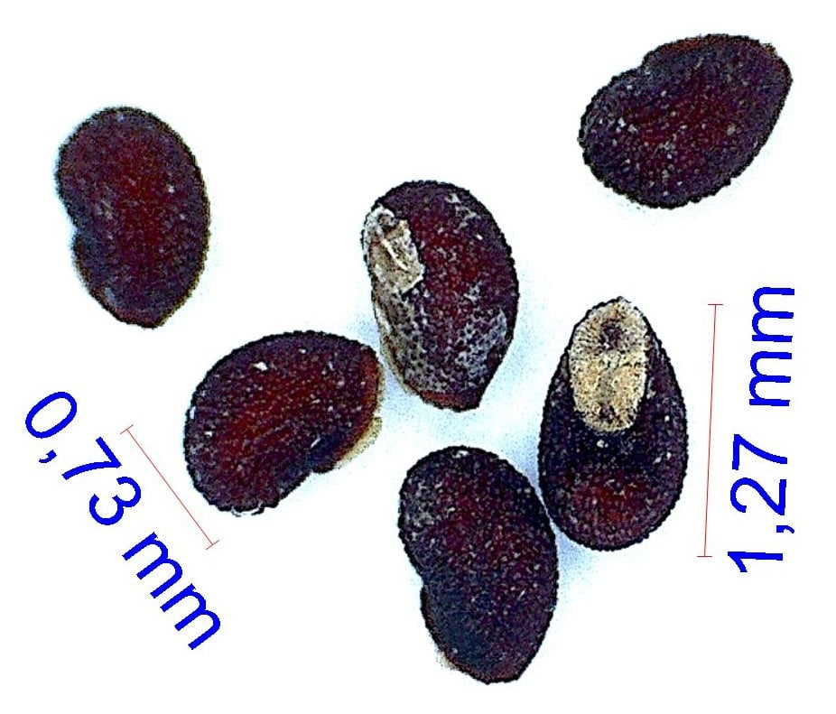 Gymnocalycium cardenasianum DH 838-98. © Joël Lodé/cactus-aventures.com