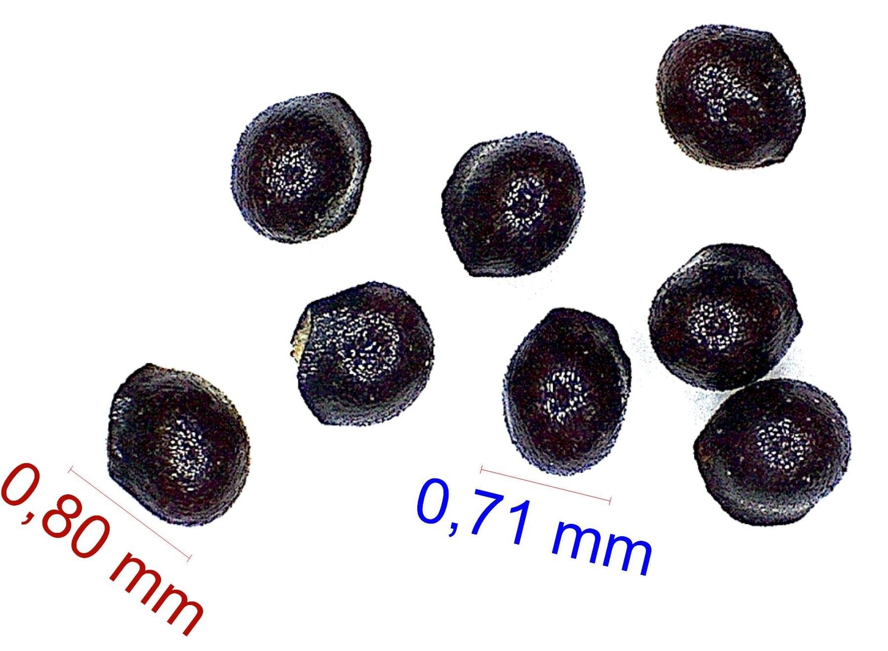 Gymnocalycium castellanosii. © Joël Lodé/cactus-aventures.com