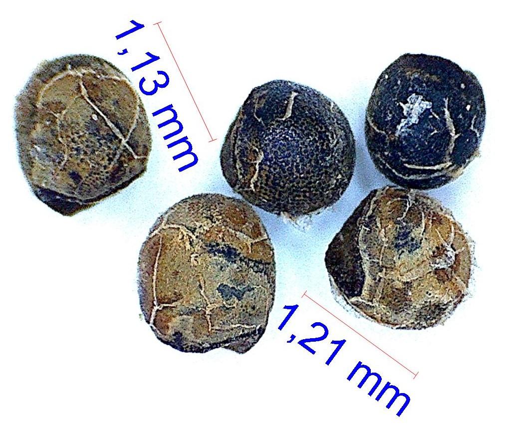Gymnocalycium erinaceum (papschii)
