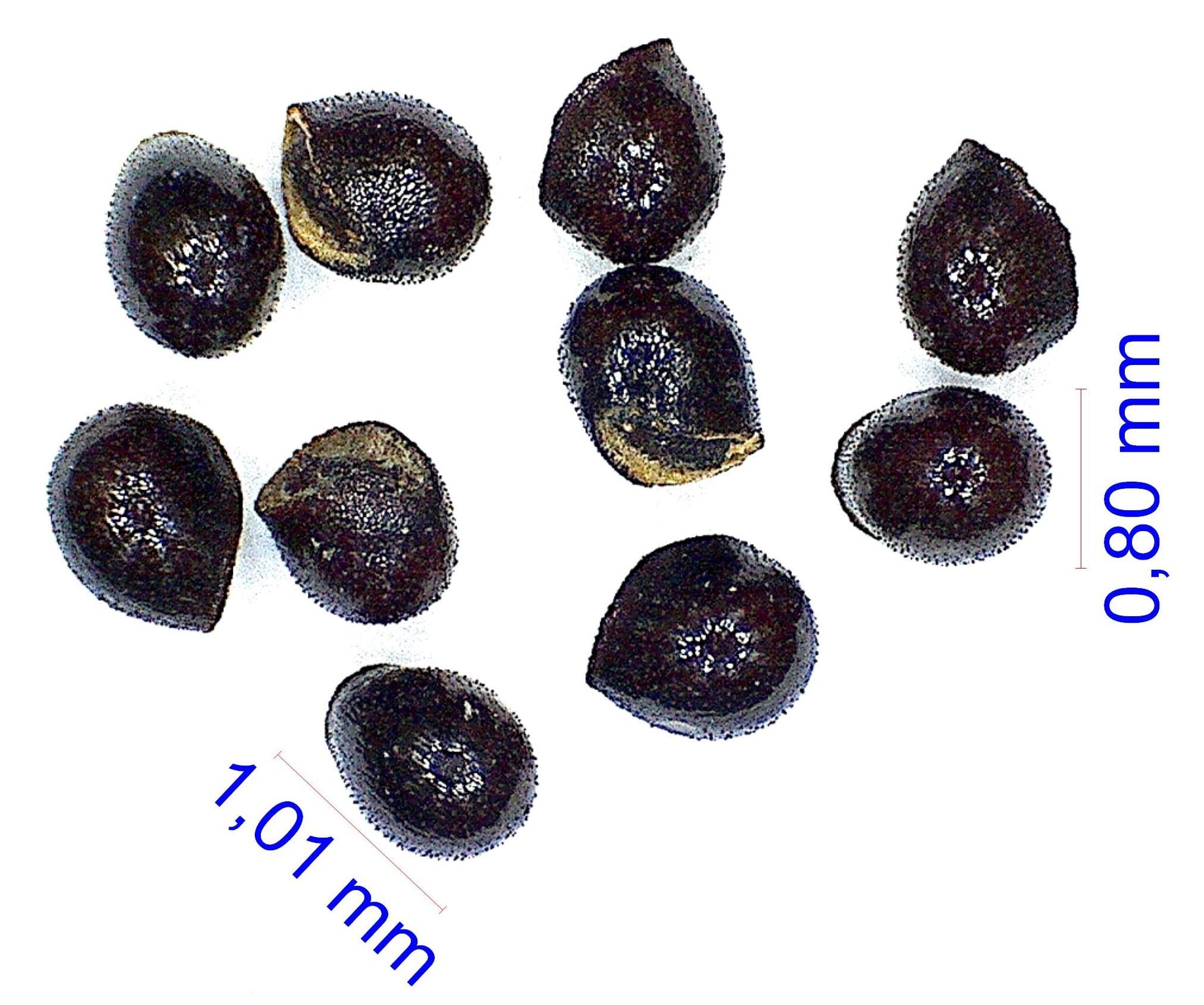 Gymnocalycium esperanzae WP 315-737. © Joël Lodé/cactus-aventures.com