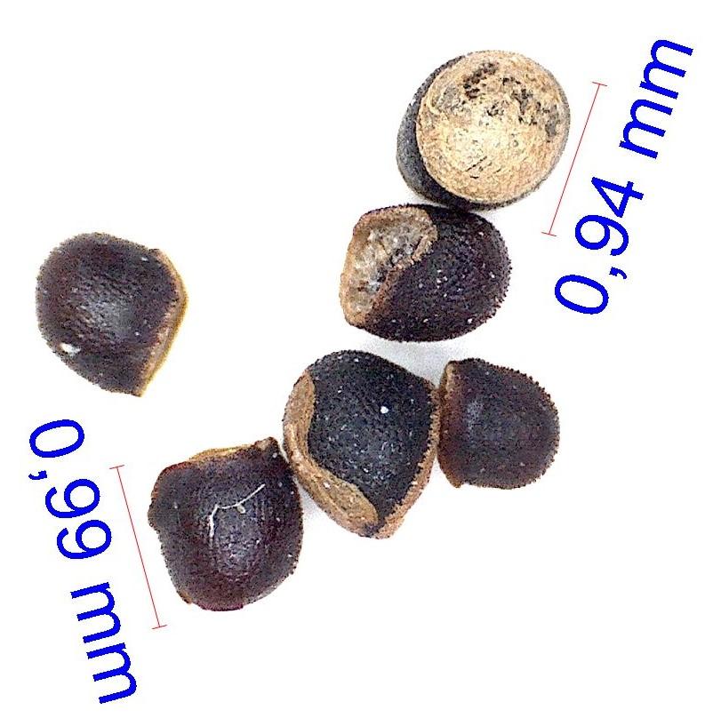 Gymnocalycium gaponii B 42