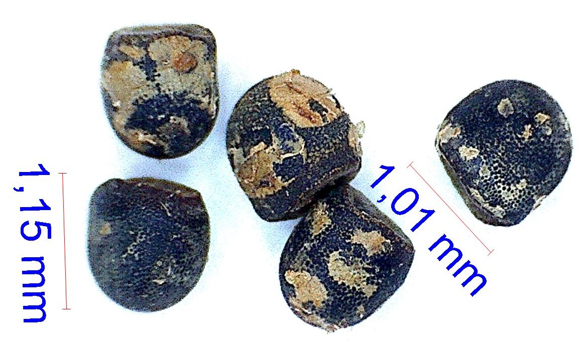 Gymnocalycium gibbosum