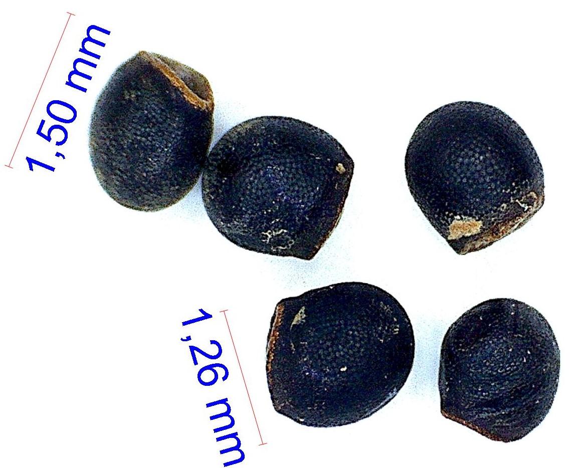 Gymnocalycium gibbosum (chubutense). © Joël Lodé/cactus-aventures.com