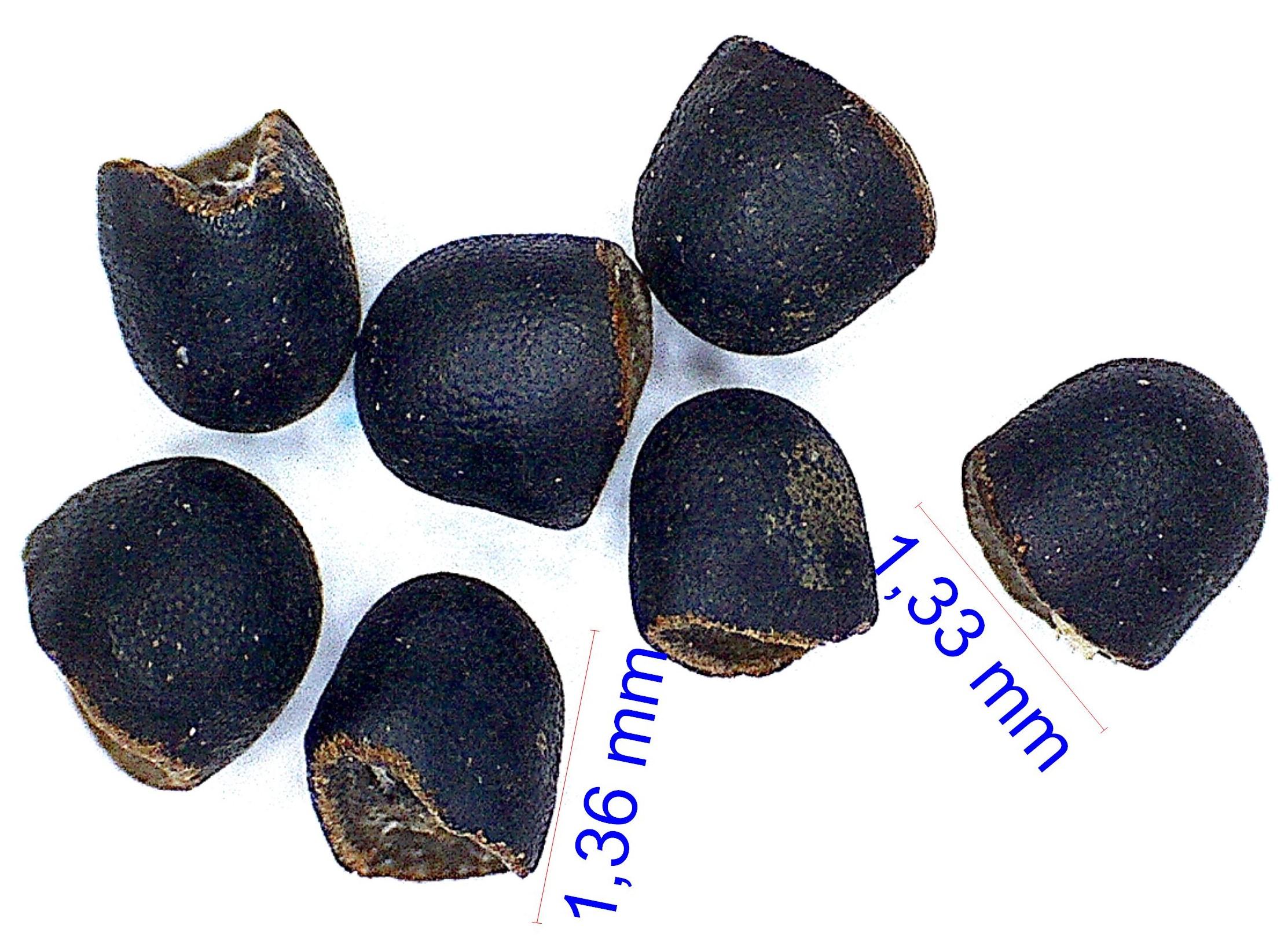 Gymnocalycium gibbosum ssp ferox. © Joël Lodé/cactus-aventures.com