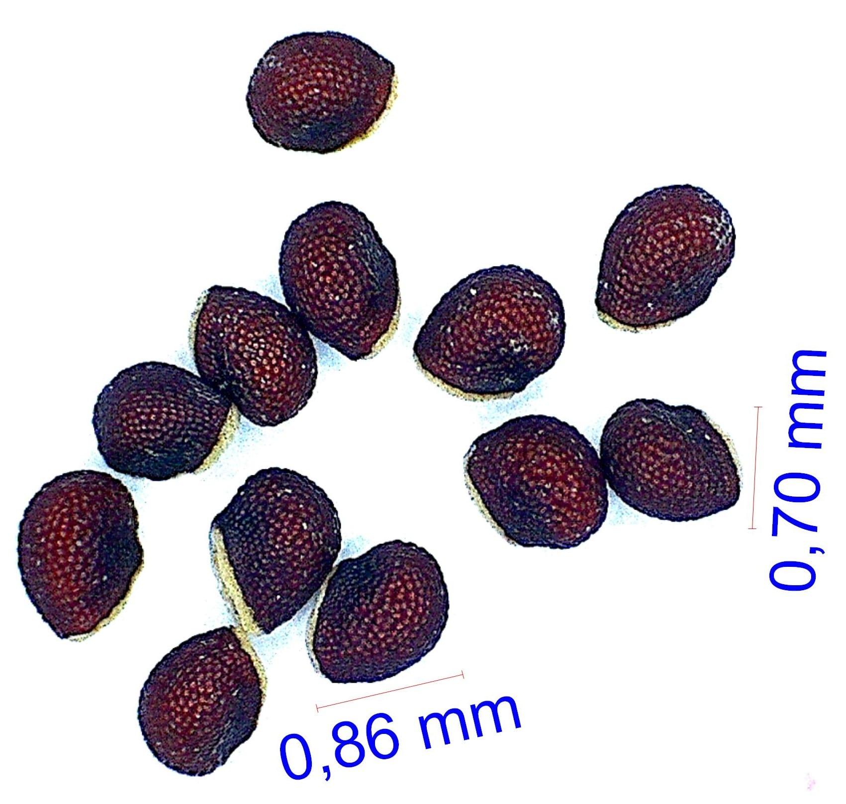 Gymnocalycium horridispinum ssp achirasense v. chacrasense LB 360. © Joël Lodé/cactus-aventures.com