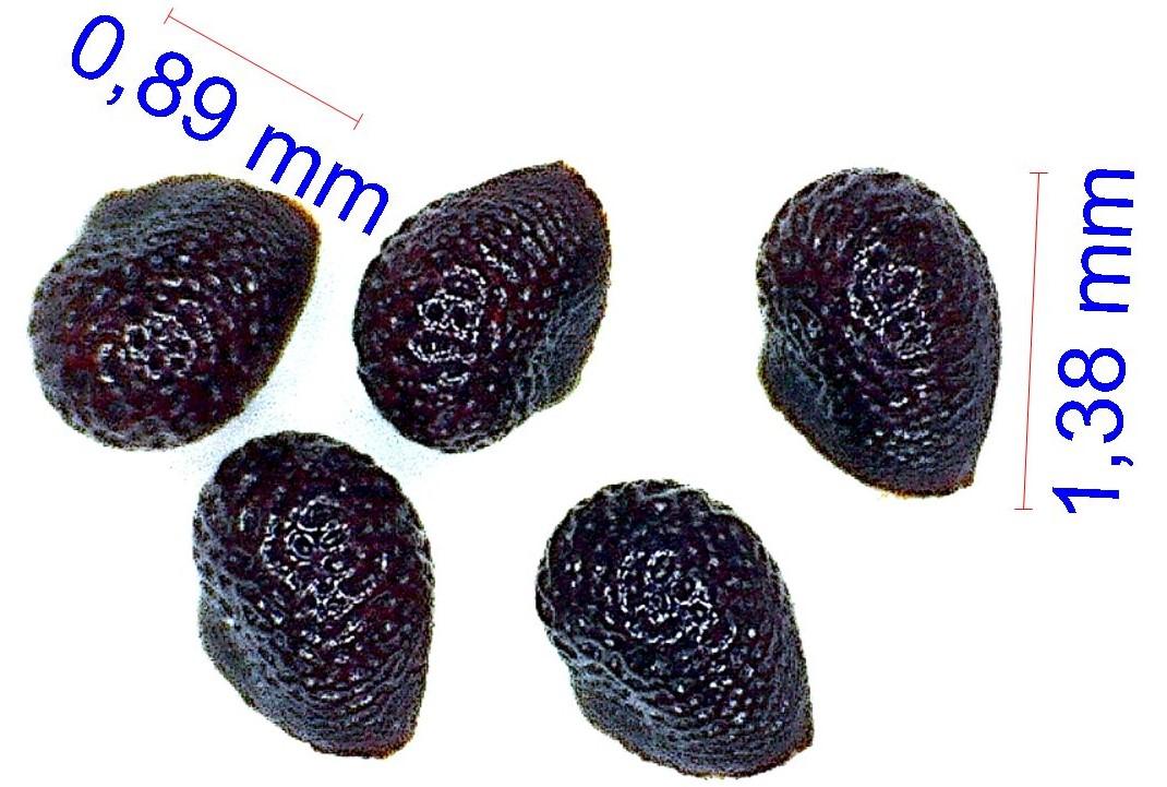 Gymnocalycium horstii. © Joël Lodé/cactus-aventures.com