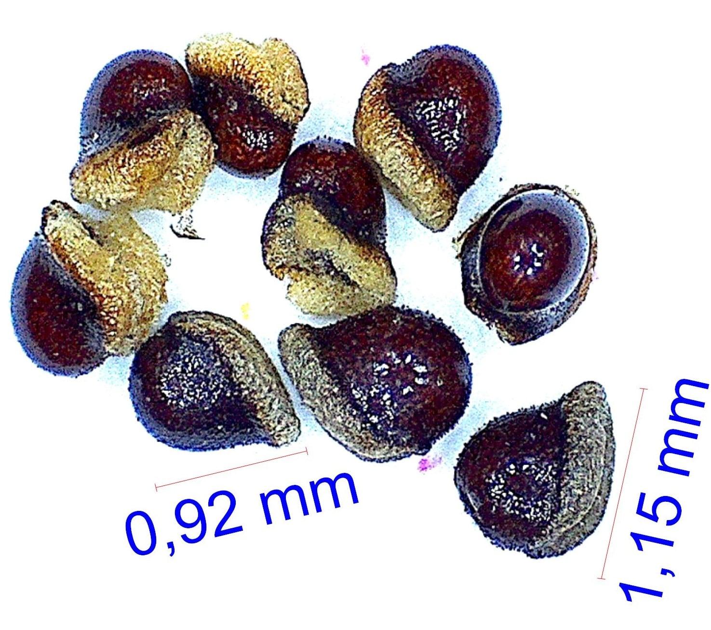 Gymnocalycium hossei. © Joël Lodé/cactus-aventures.com