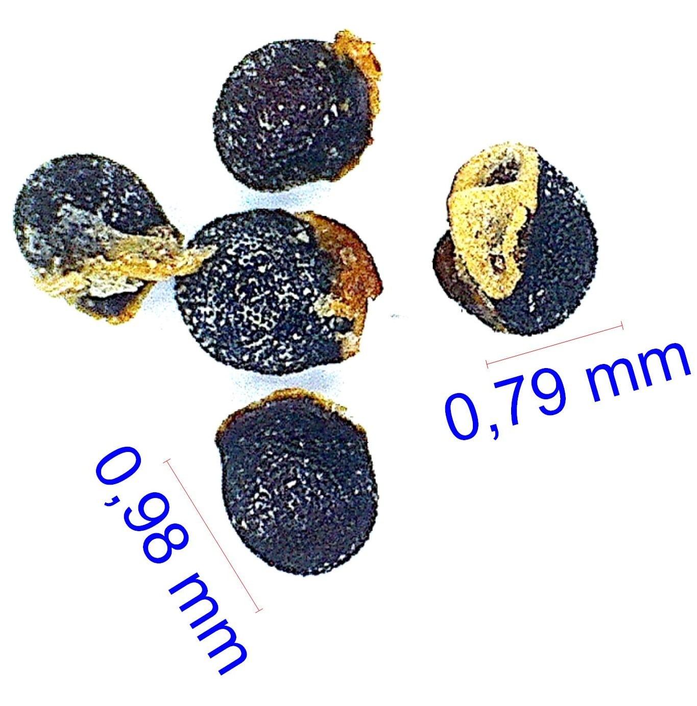 Gymnocalycium hossei (mazanense). © Joël Lodé/cactus-aventures.com