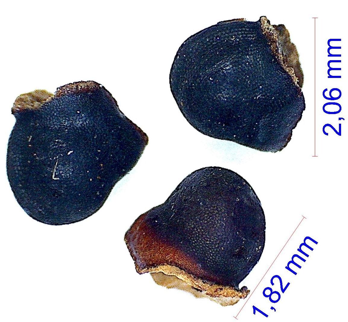 Gymnocalycium hyptiacanthum ssp uruguayensis v. roseiflorum. © Joël Lodé/cactus-aventures.com