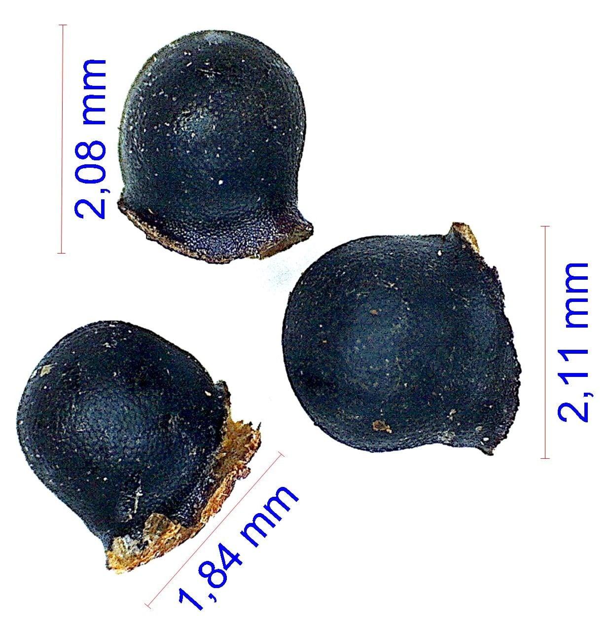 Gymnocalycium hyptiacanthum ssp uruguayensis. © Joël Lodé/cactus-aventures.com
