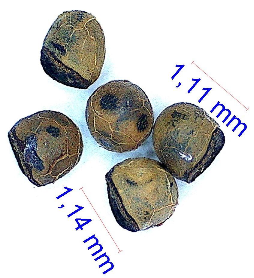 Gymnocalycium kieslingii. © Joël Lodé/cactus-aventures.com