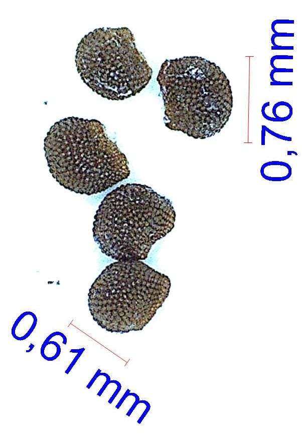 Gymnocalycium marsoneri ssp megatae (tudae). © Joël Lodé/cactus-aventures.com