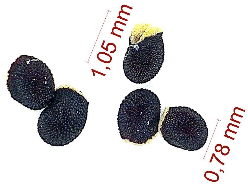 Gymnocalycium mazanense v. polycephalum. © Joël Lodé/cactus-aventures.com