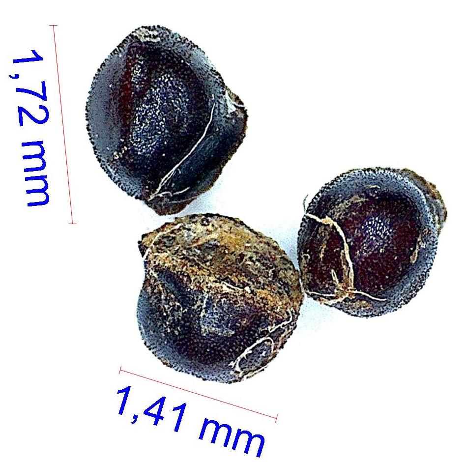 Gymnocalycium mesopotamicum. © Joël Lodé/cactus-aventures.com