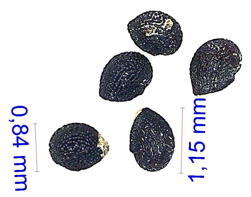 Gymnocalycium monvillei (multiflorum). © Joël Lodé/cactus-aventures.com