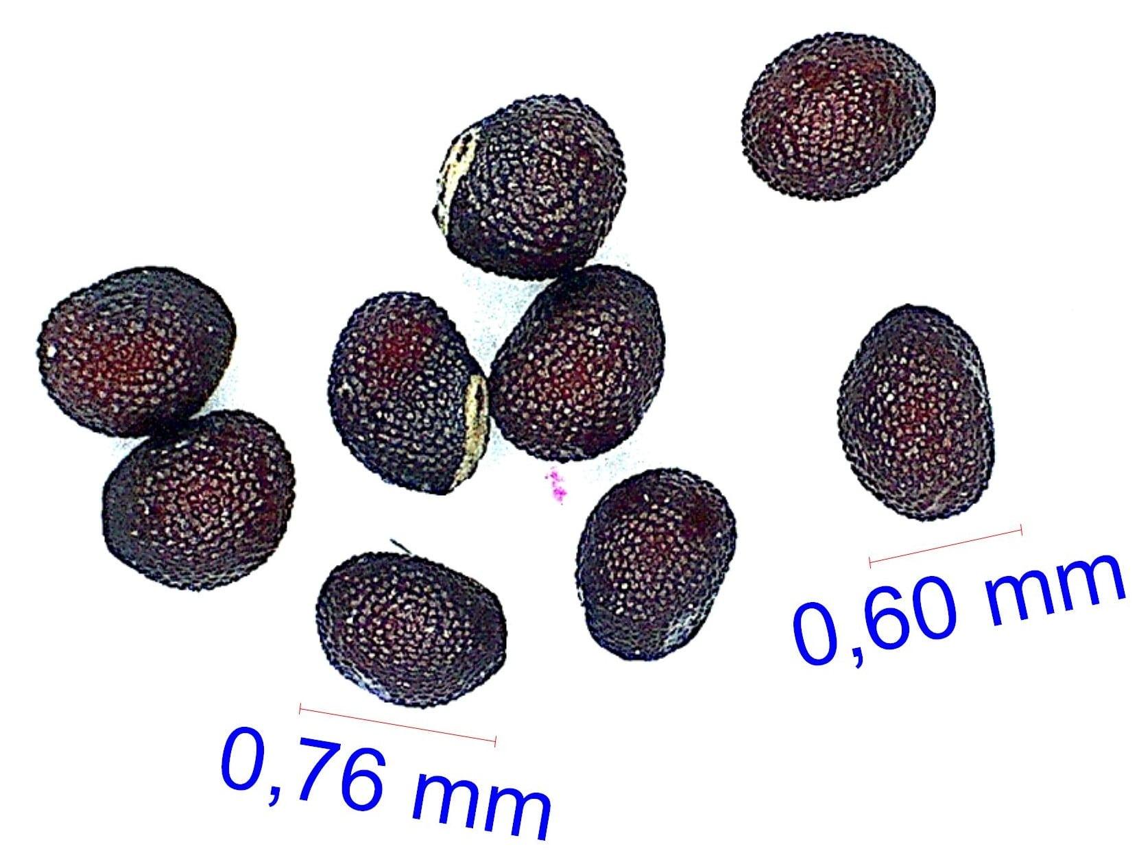 Gymnocalycium mostii ssp bicolor. © Joël Lodé/cactus-aventures.com