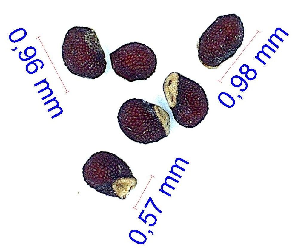 Gymnocalycium mostii v. genseri. © Joël Lodé/cactus-aventures.com
