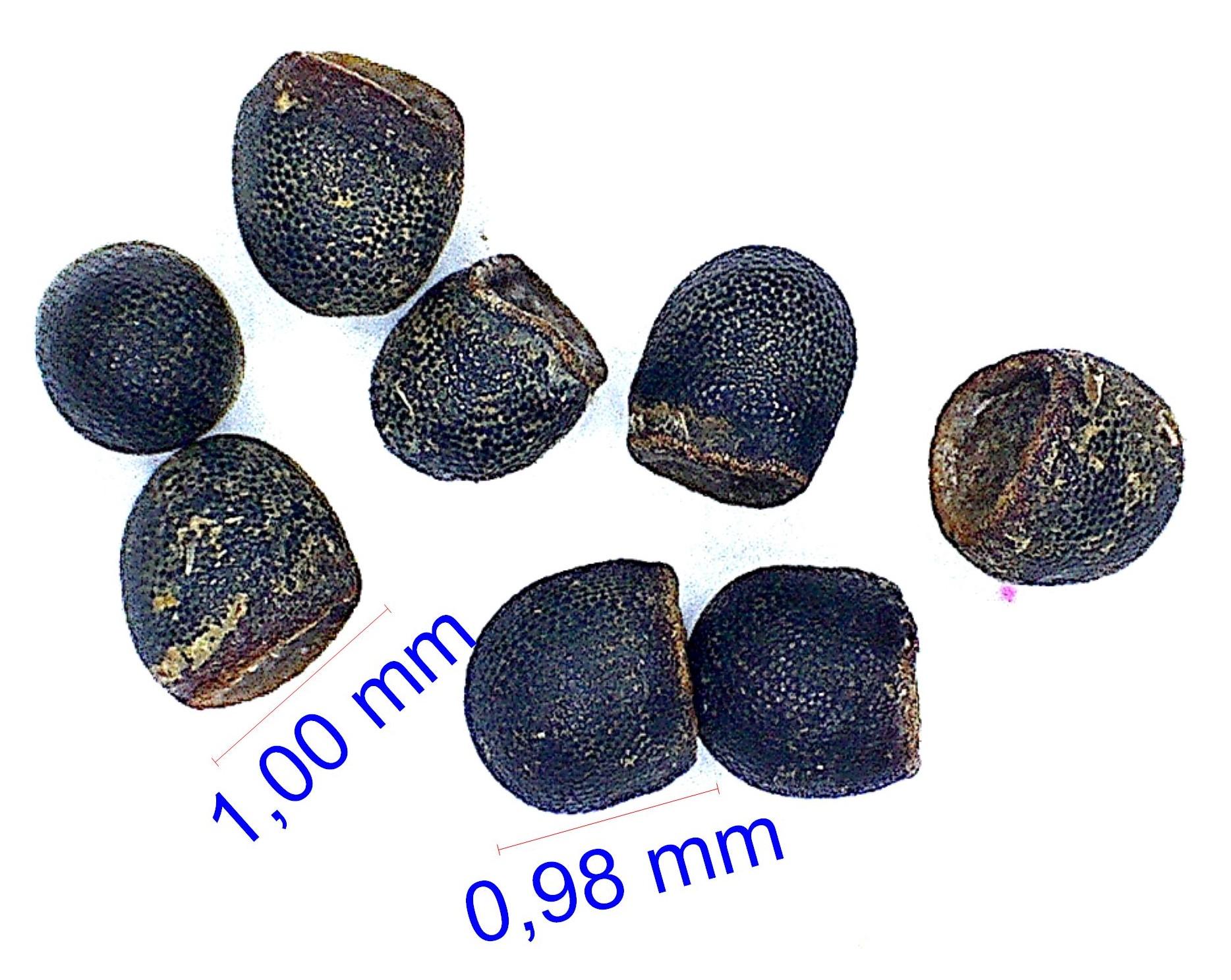 Gymnocalycium neuhuberi © Joël Lodé/cactus-aventures.com