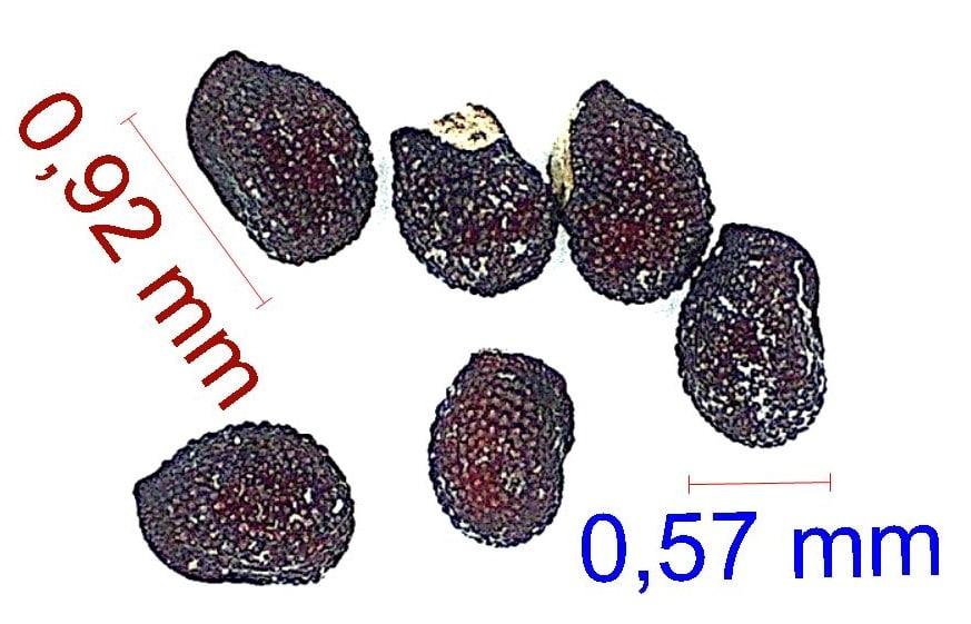 Gymnocalycium nigriareolatum P132