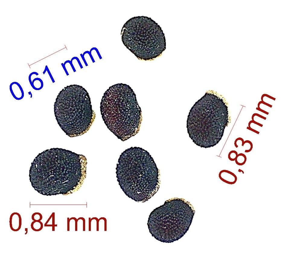 Gymnocalycium nigriareolatum (curvispinum). © Joël Lodé/cactus-aventures.com