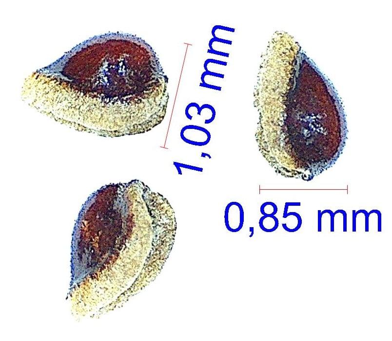 Gymnocalycium ochoterenae. © Joël Lodé/cactus-aventures.com