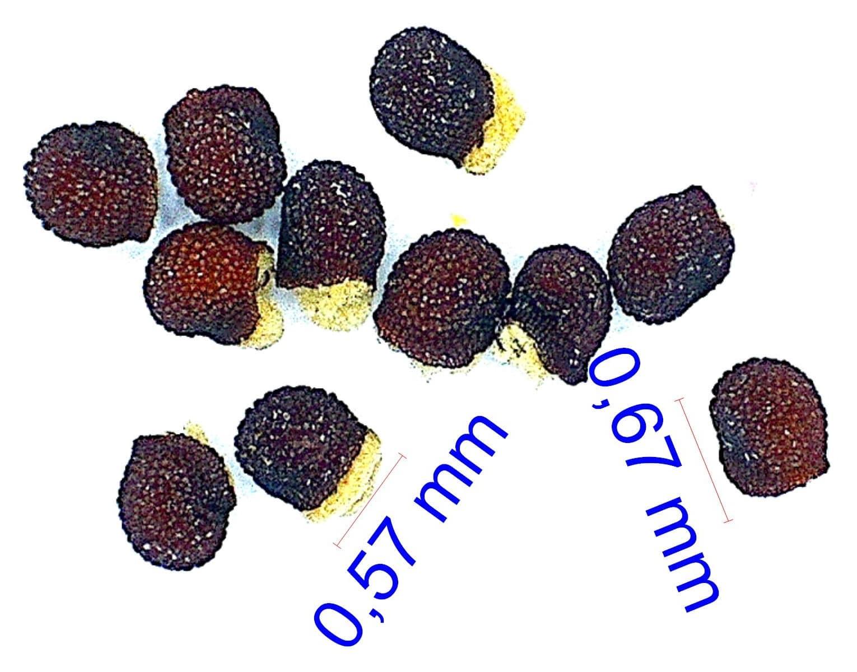 Gymnocalycium oenanthemum (tillianum). © Joël Lodé/cactus-aventures.com