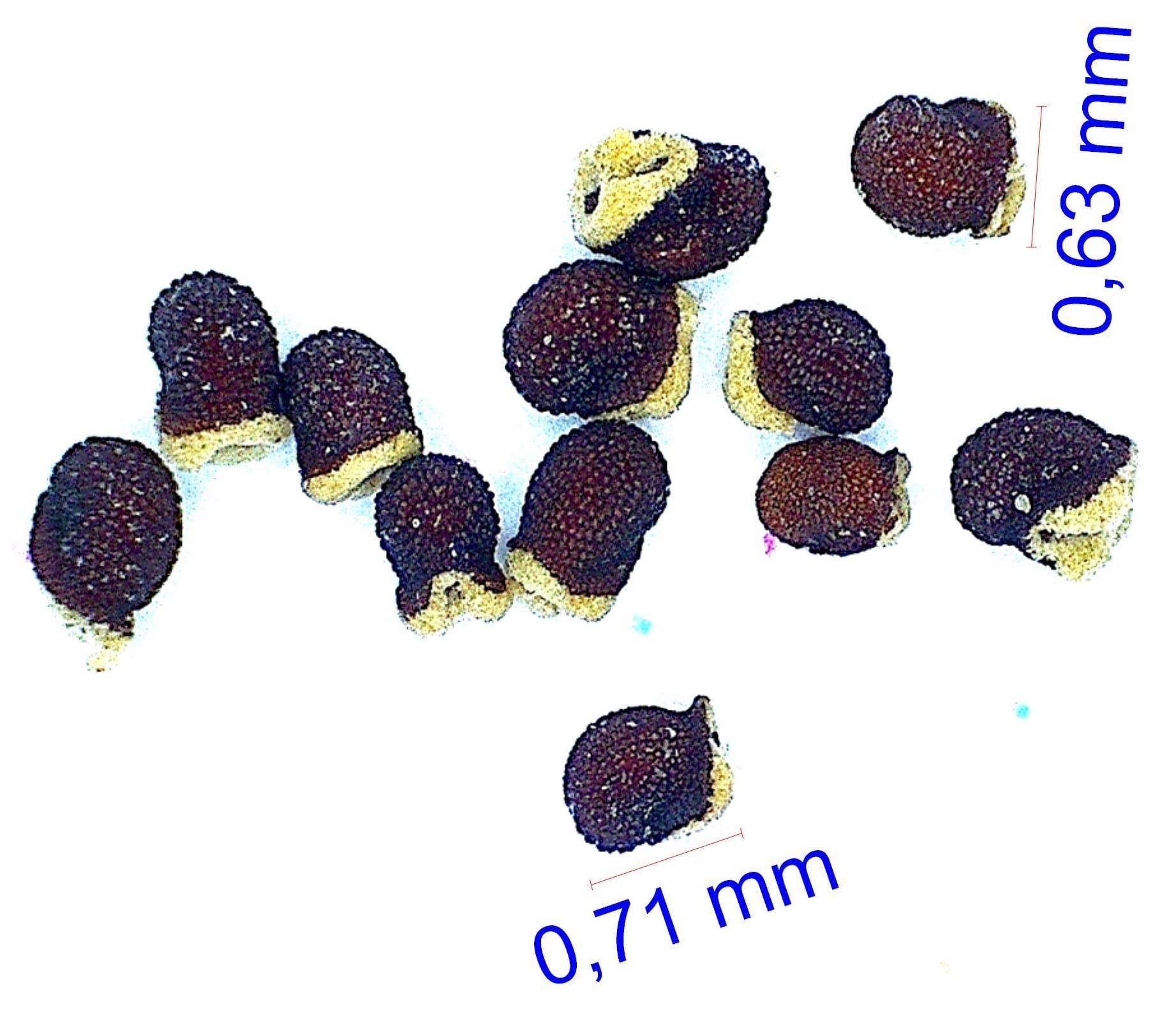 Gymnocalycium oenanthemum (tillianum WR 227). © Joël Lodé/cactus-aventures.com