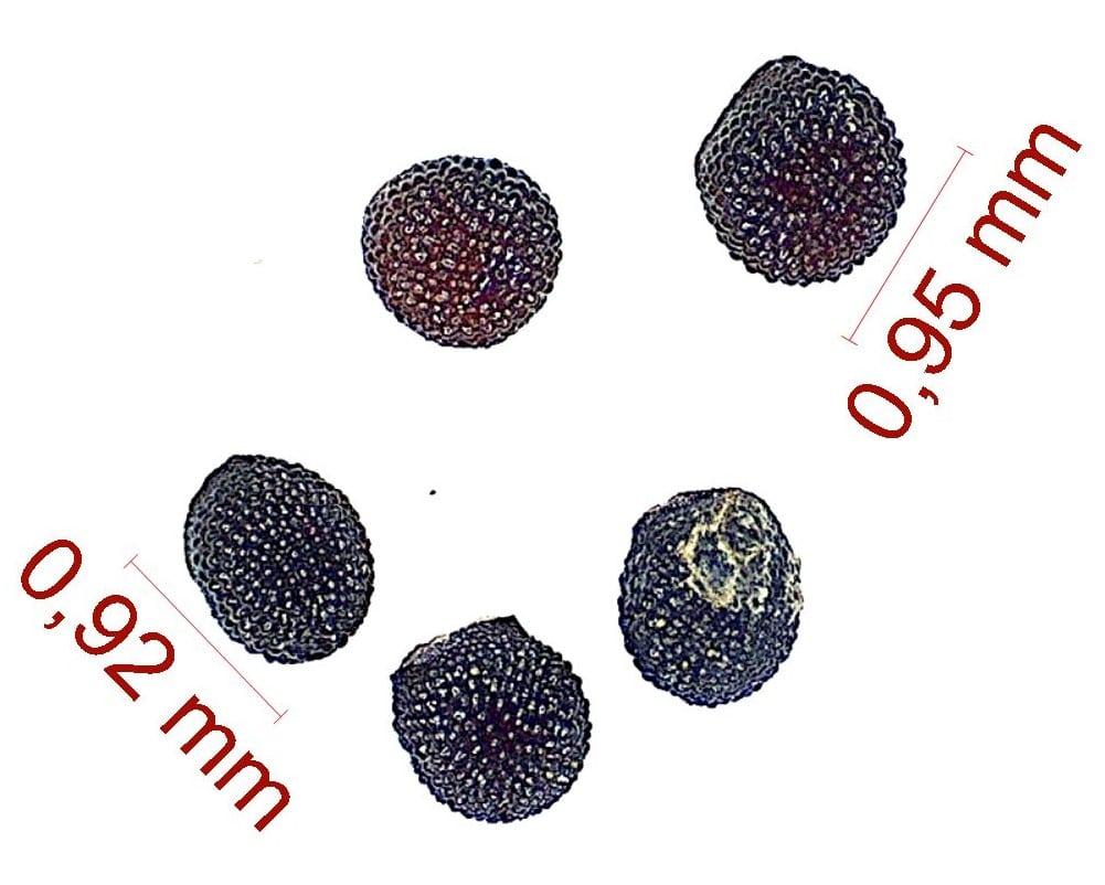 Gymnocalycium paediophilum. © Joël Lodé/cactus-aventures.com