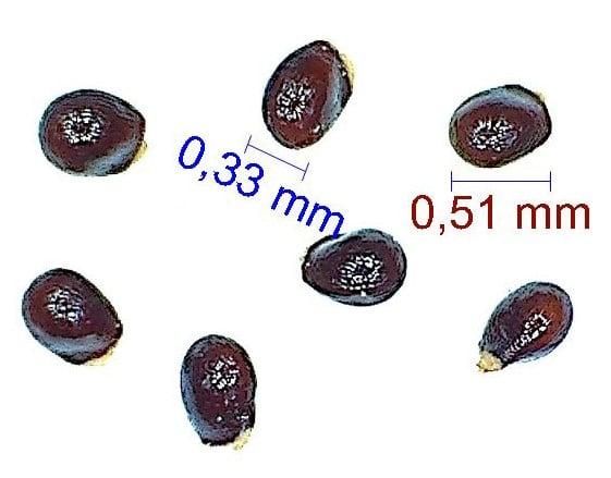 Gymnocalycium pflanzii ssp zegarrae. © Joël Lodé/cactus-aventures.com