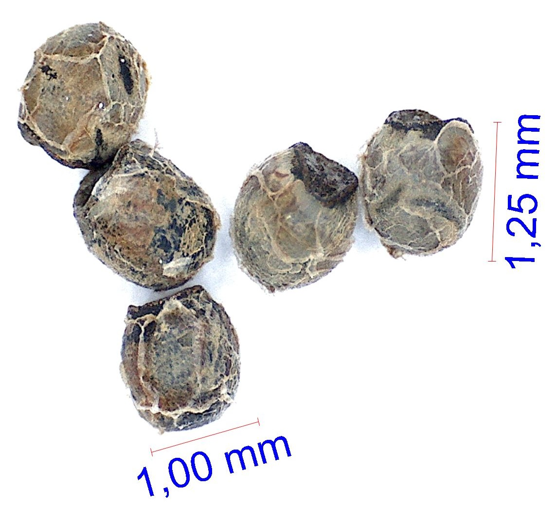 Gymnocalycium poeschlii LB © Joël Lodé/cactus-aventures.com
