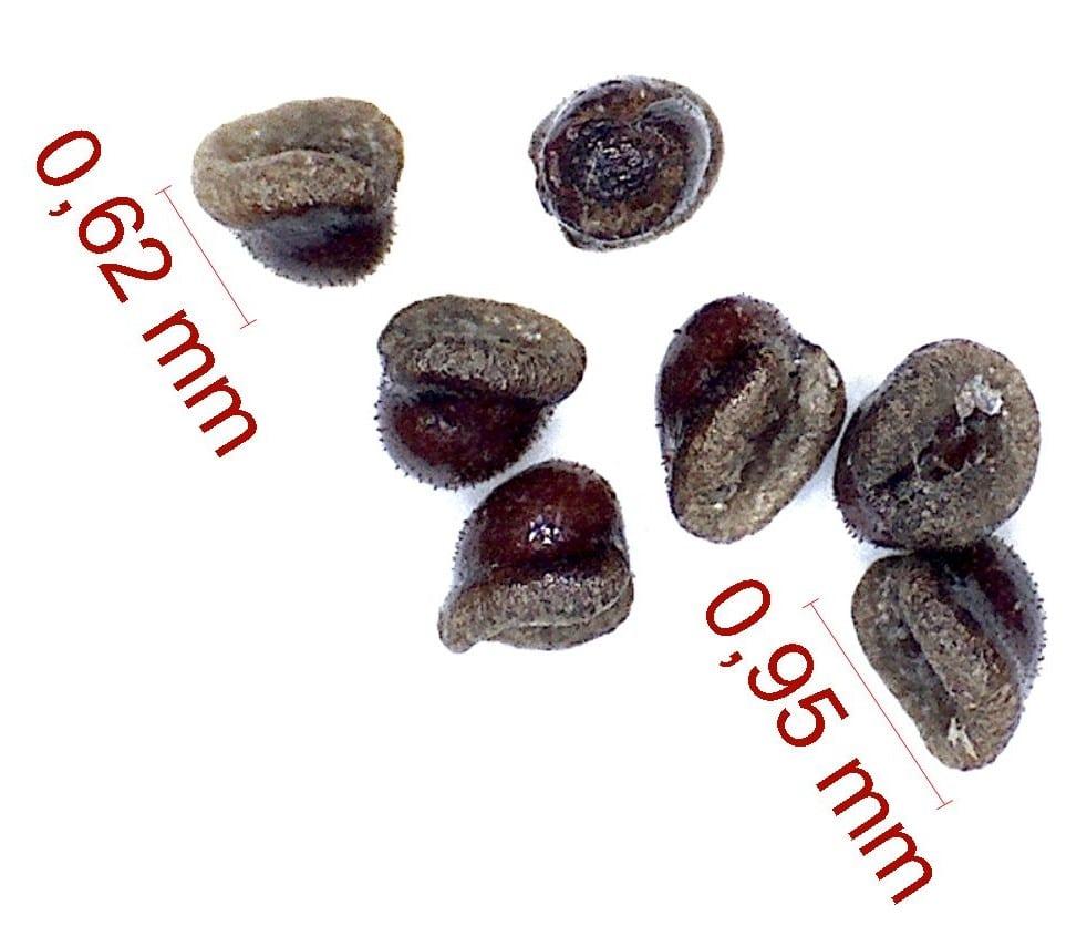 Gymnocalycium quehlianum. © Joël Lodé/cactus-aventures.com