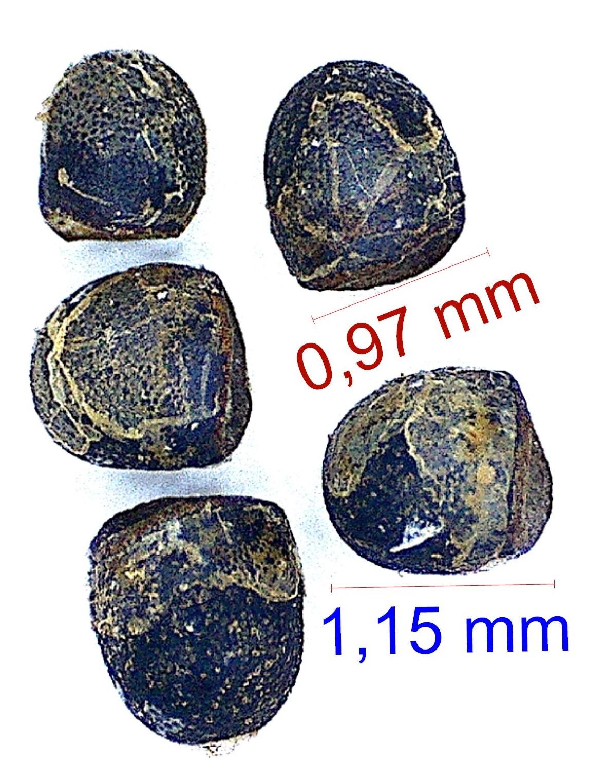 Gymnocalycium reductum (G. gibbosum ssp ferdinandii JPR 21-55). © Joël Lodé/cactus-aventures.com