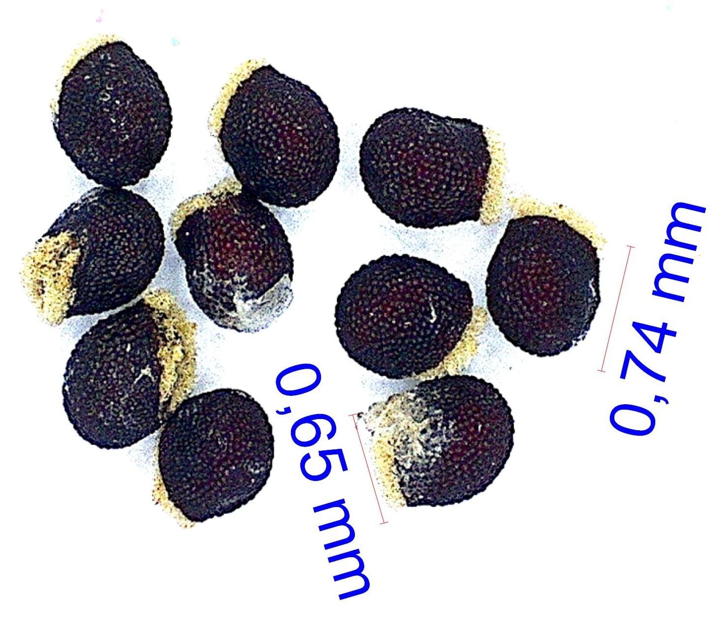 Gymnocalycium rhodantherum (guanchinense P 226) © Joël Lodé/cactus-aventures.com