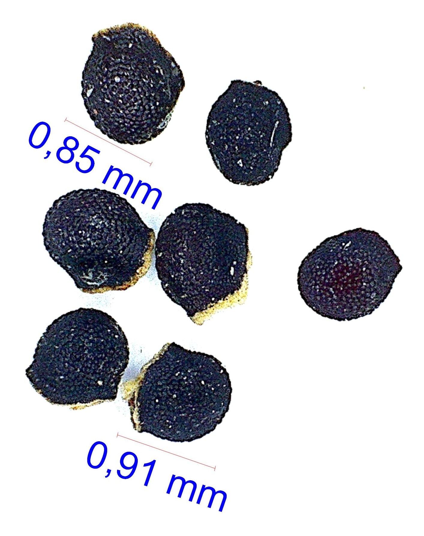 Gymnocalycium rhodantherum (acorrugatum VS 32). © Joël Lodé/cactus-aventures.com