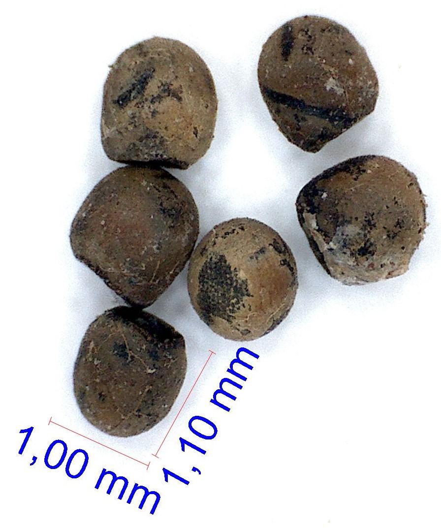 Gymnocalycium robustum MM 823. © Joël Lodé/cactus-aventures.com