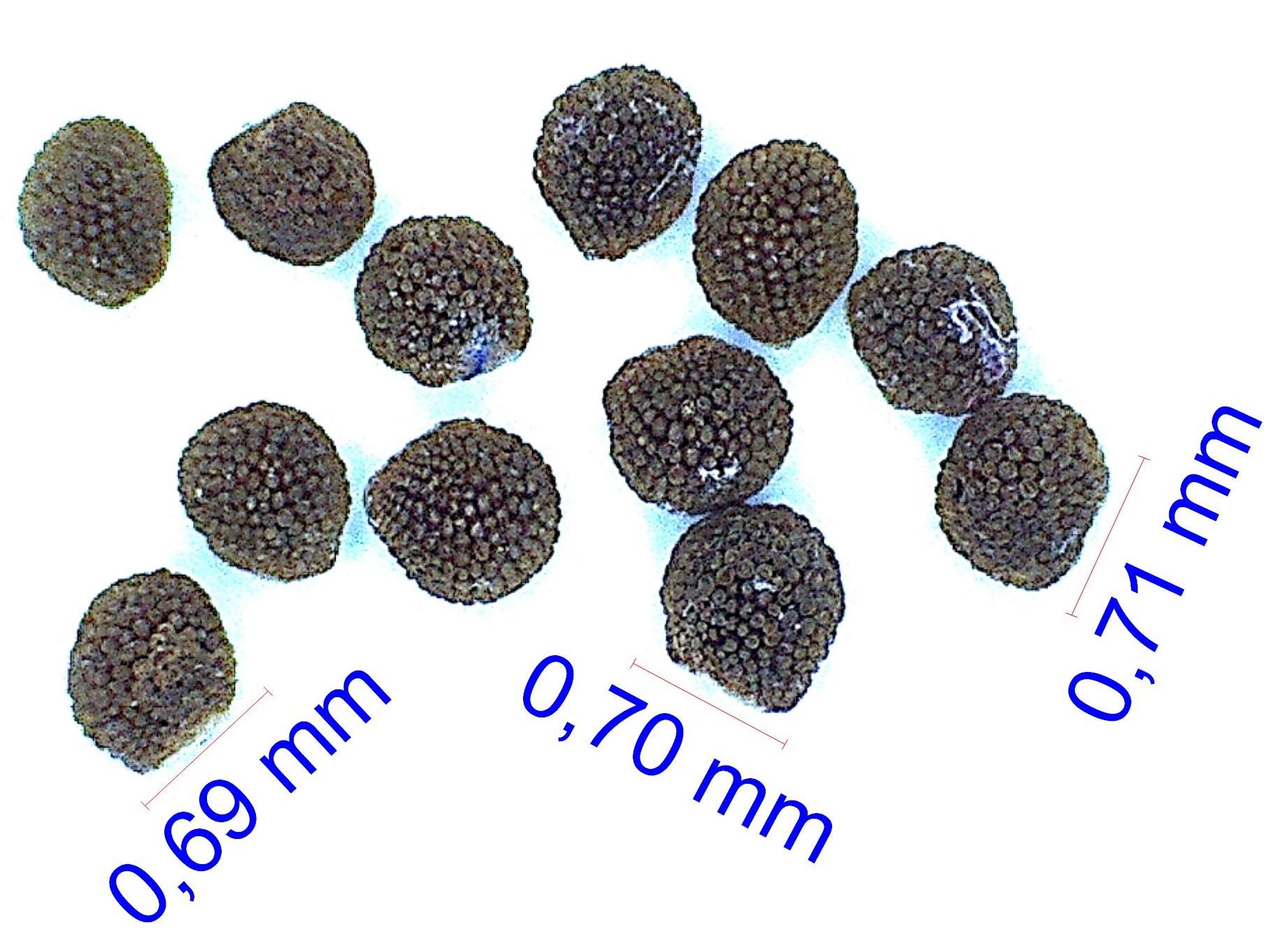 Gymnocalycium schreiteri L 439. © Joël Lodé/cactus-aventures.com