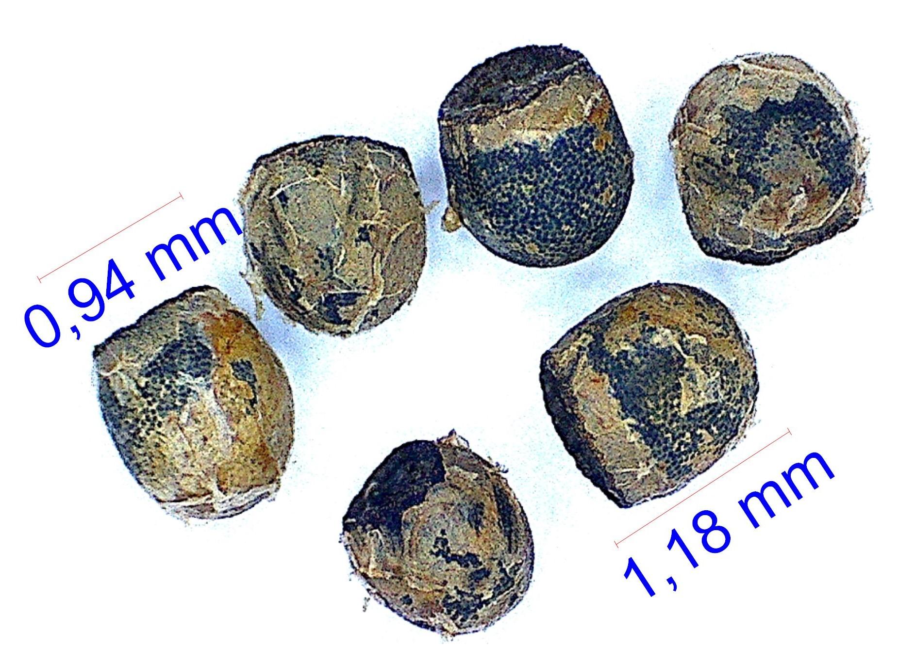Gymnocalycium schroederianum ssp boessii. © Joël Lodé/cactus-aventures.com
