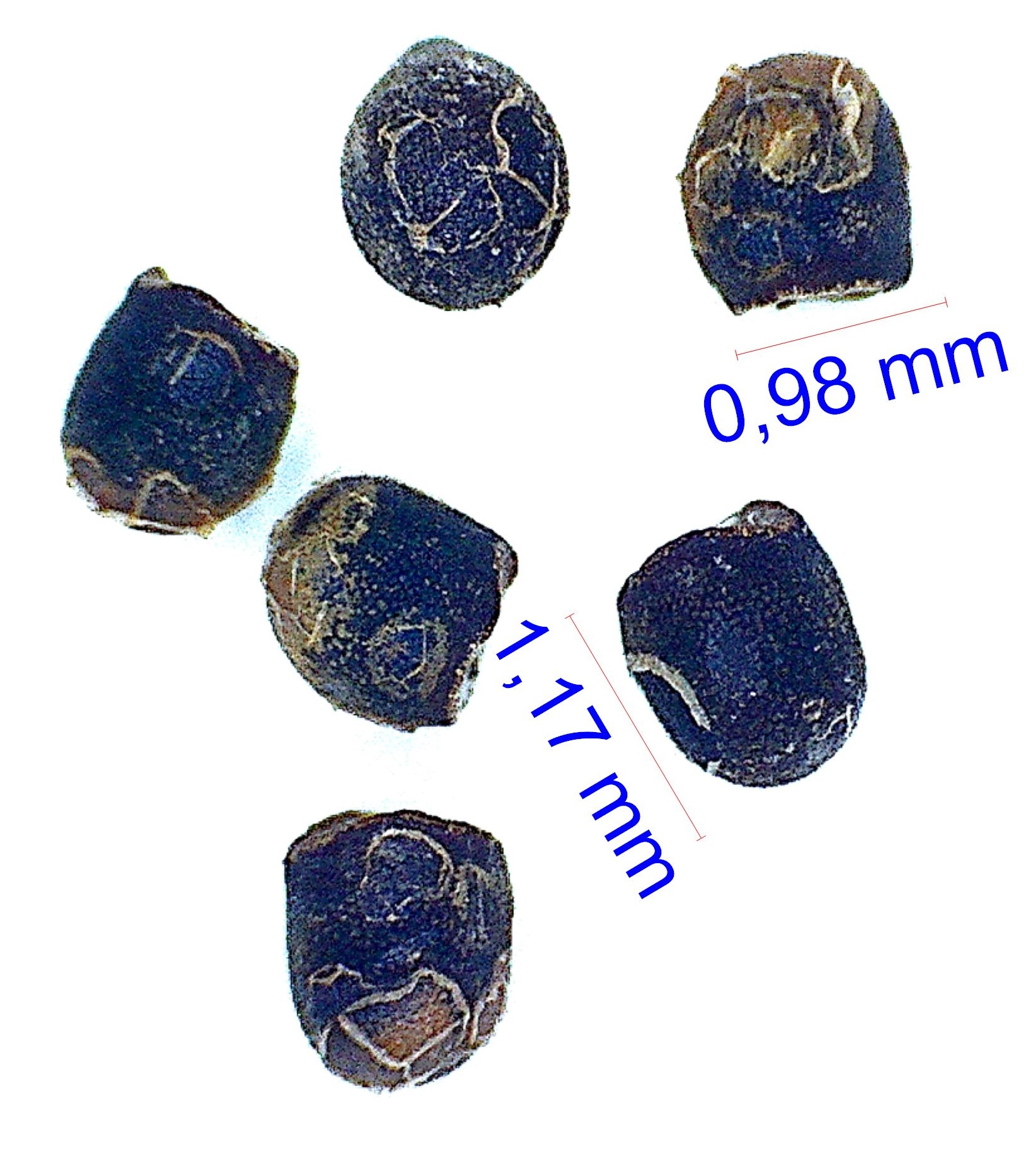 Gymnocalycium sindae JPR 92-36/89. © Joël Lodé/cactus-aventures.com