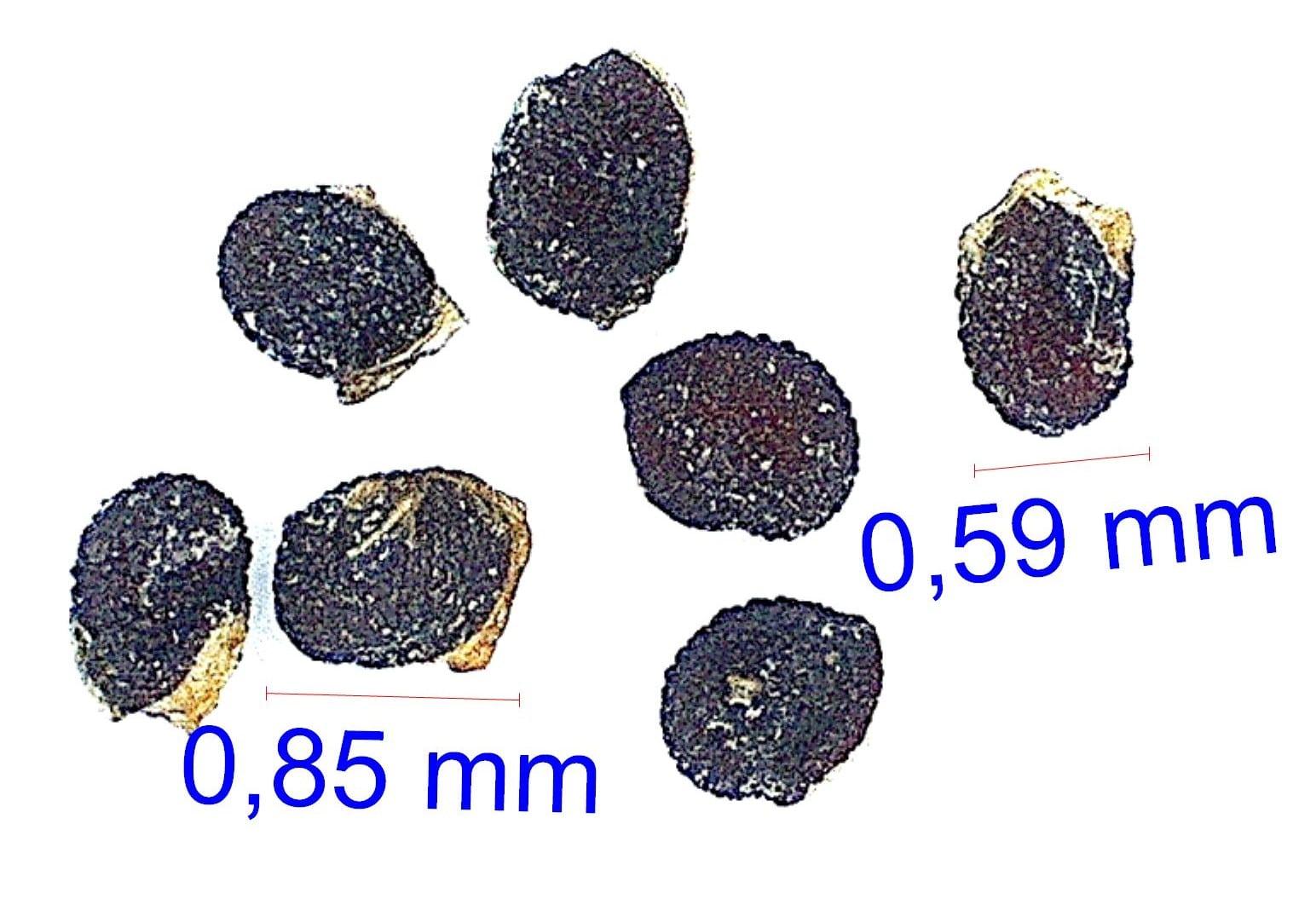 Gymnocalycium spegazzinii v. recii KBA 38A © Joël Lodé/cactus-aventures.com